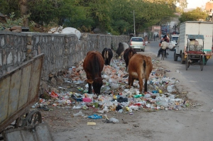 Jaipur_cows_eating_trash
