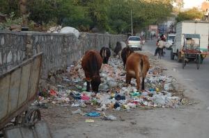Jaipur_cows_eating_trash