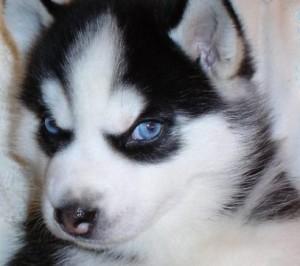 siberian-husky-puppy